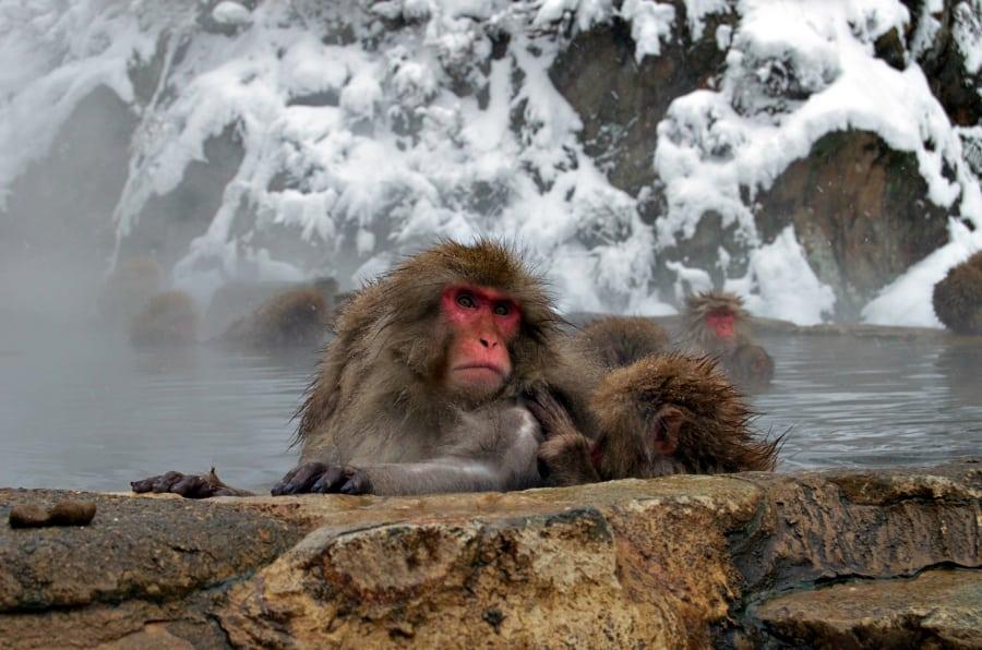 Snežné opice si v Japonsku užívajú horúce kúpele